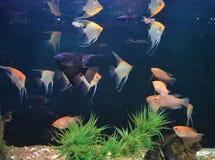Pescados coloridos en acuario con las plantas verdes y la nave foto de archivo