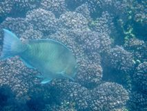Pescados coloridos en el arrecife de coral en el mar de Omán - 16 fotos de archivo