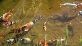 Pescados coloridos en la charca