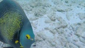 Pescados coloridos grandes en Bonaire, islas de Antillas almacen de video