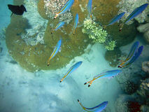 Pescados coloridos linados en arrecife de coral Fotografía de archivo
