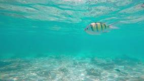 Pescados coloridos subacuáticos, agua tropical en Tailandia Phuket - el mar de Andaman metrajes