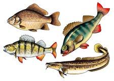 Pescados comerciales de agua dulce crucian de la perca de la lota de río Imágenes de archivo libres de regalías