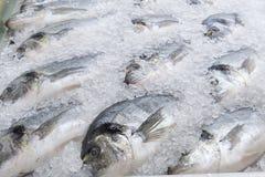 Pescados congelados de la brema de mar Imágenes de archivo libres de regalías