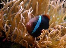 Pescados coralinos Fotos de archivo