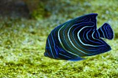 Pescados coralinos Imágenes de archivo libres de regalías