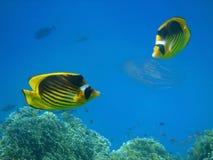 Pescados coralinos foto de archivo libre de regalías