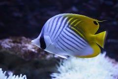 Pescados coralinos Fotos de archivo libres de regalías