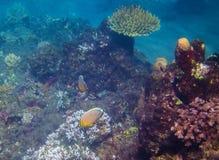 Pescados coralinos amarillos en filón Orilla de mar exótica de la isla Foto subacuática del paisaje tropical de la costa Imagenes de archivo