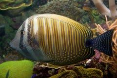 Pescados coralinos tropicales Imagenes de archivo