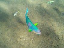 Pescados coralinos tropicales en el mar Foto subacuática de los pescados tropicales coloridos Imagen de archivo