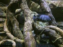 Pescados de agua dulce debajo del agua en un fondo de raíces inundadas de Imágenes de archivo libres de regalías