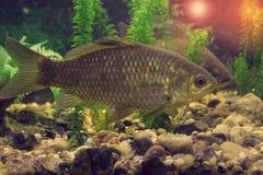 Pescados de agua dulce en su hábitat natural Imagen de archivo