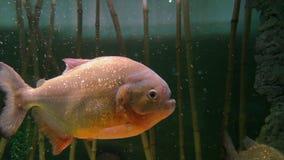 Pescados de agua dulce de la pira?a almacen de metraje de vídeo