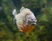 Pescados de agua dulce peligrosos de la piraña subacuáticos Imagenes de archivo