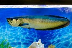 Pescados de agua dulce tropicales de Arovana en el acuario Foto de archivo