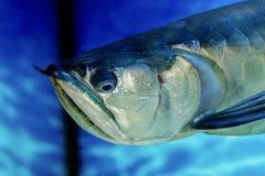 Pescados de agua dulce tropicales de Arovana en el acuario Imagen de archivo