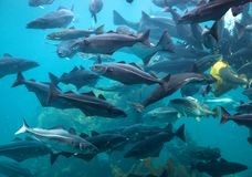 Pescados de alimentación en Alesund' acuario de s imagen de archivo libre de regalías