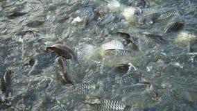 Pescados de alimentación en el río almacen de metraje de vídeo
