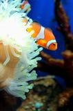 Pescados de anémona Fotos de archivo libres de regalías