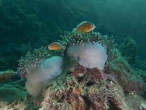 Pescados de anémona Foto de archivo libre de regalías