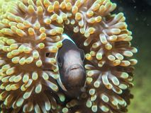 Pescados de anémona con la anémona de mar fotografía de archivo