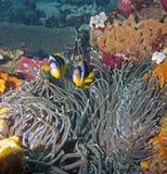Pescados de anémona de Twobar Fotografía de archivo libre de regalías