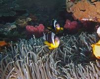 Pescados de anémona de Twobar Imagen de archivo libre de regalías