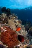 Pescados de anémona Indonesia Sulawesi Fotos de archivo libres de regalías