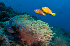Pescados de anémona, Maldives Fotos de archivo libres de regalías