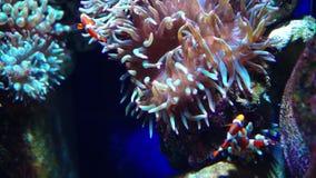Pescados de anémona o pescados del payaso Acuario u Oceanarium, acuario, Coral Reef, animales almacen de metraje de vídeo