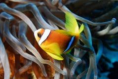 Pescados de Anemon Fotografía de archivo