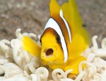 Pescados de anémona con la boca abierta Fotos de archivo libres de regalías