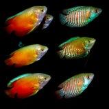 Pescados de Aquaarium Familia de Anabantoidae Foto de archivo libre de regalías