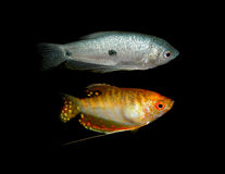Pescados de Aquaarium Familia de Anabantoidae Imágenes de archivo libres de regalías