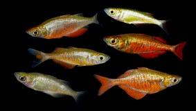 Pescados de Aquaarium Melanotaenia Imagenes de archivo