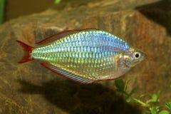 Pescados de arco iris Imagen de archivo libre de regalías