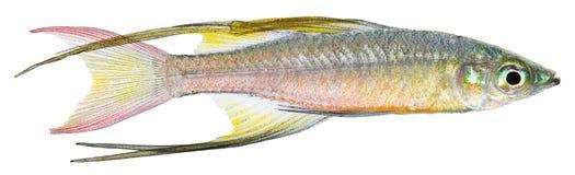 Pescados de arco iris del Threadfin Fotos de archivo libres de regalías