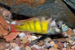 Pescados de Astatotilapia Imagen de archivo libre de regalías