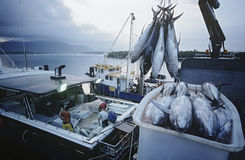 Pescados de atún en envase en los mojones Australia del amanecer del barco de pesca Imagen de archivo libre de regalías