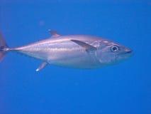 Pescados de atún Fotografía de archivo