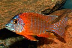 Pescados de Aulonocara Foto de archivo