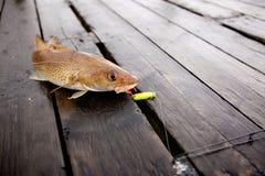 Pescados de bacalao foto de archivo