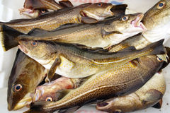 Pescados de bacalao fotos de archivo