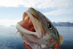 Pescados de bacalao fotografía de archivo libre de regalías