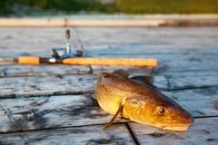 Pescados de bacalao frescos Fotos de archivo
