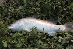 Pescados de Barramundi Foto de archivo libre de regalías