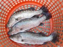 Pescados de Barramundi Fotografía de archivo libre de regalías