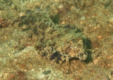Pescados de cabeza llana Imagenes de archivo