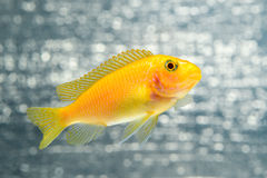 Pescados de Cichlid Fotografía de archivo libre de regalías